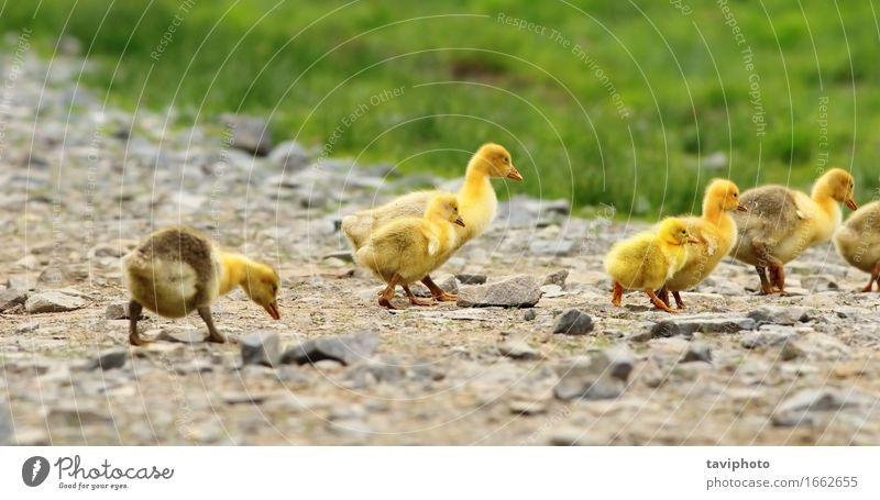 süße gelbe Gänschen schön Leben Baby Freundschaft Natur Landschaft Tier Frühling Gras Vogel klein lustig neu niedlich grün Hausgans Küken Gössel Bauernhof Gänse