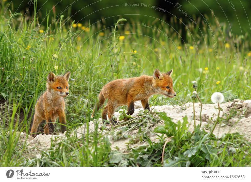 Fuchsjunge in der Nähe des Baues Frau Hund Natur schön grün rot Tier Gesicht Erwachsene Tierjunges Gras Familie & Verwandtschaft klein Glück Schule braun