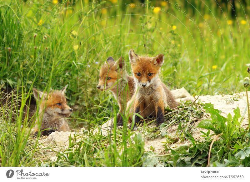 Fuchswelpen in der Nähe der Höhle schön Gesicht Baby Natur Tier Sand Gras Hund Tierjunges hören sitzen klein natürlich niedlich wild braun grün rot Einsamkeit