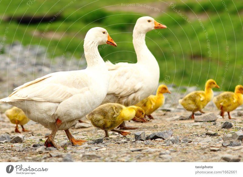 Gänse Familie Kindererziehung Baby Familie & Verwandtschaft Erwachsene Menschengruppe Natur Landschaft Tier Gras Wiese Vogel Zusammensein niedlich braun grün