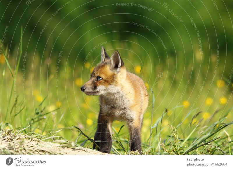 kleiner Fuchs Baby Gesicht Jagd Natur Tier Gras Pelzmantel Hund Tierjunges natürlich niedlich wild braun grün rot weiß Tierwelt Säugetier Raubtier Biest