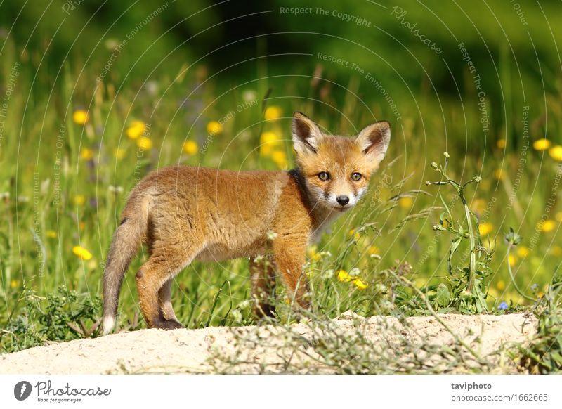 kleiner Fuchs nahe der Höhle Gesicht Baby Natur Tier Gras Wald Pelzmantel Hund Tierjunges natürlich Neugier niedlich wild braun grün rot Tierwelt Schamlippen