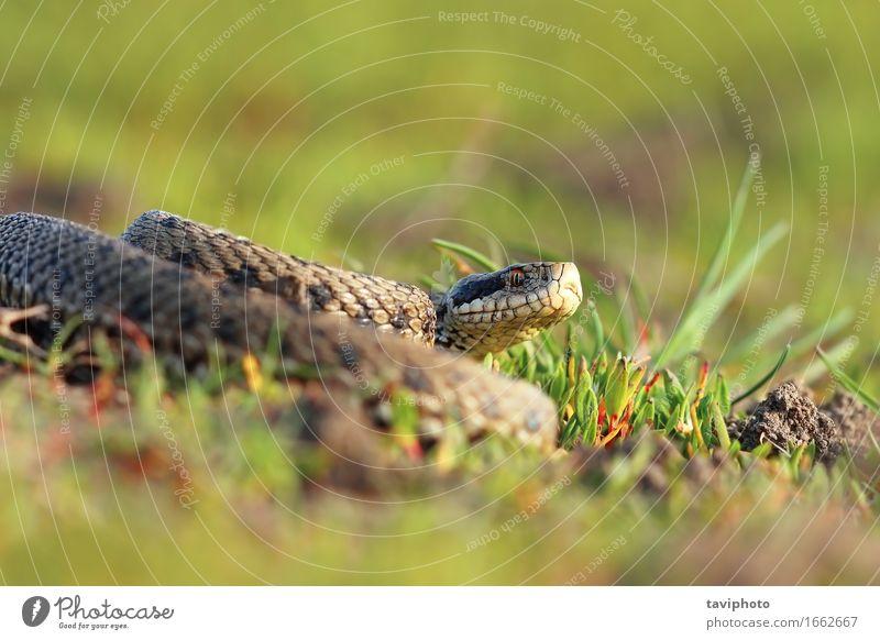 Wiesenotter, der sich im natürlichen Lebensraum aalt schön Natur Tier Schlange wild braun Angst gefährlich Farbe Ottern reptilisch Rumänien selten Rakkosiensis