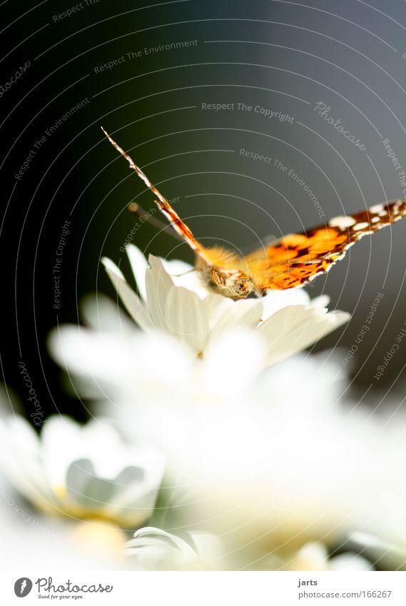 beauty schön weiß Blume Pflanze ruhig Tier gelb Farbe Blüte Frühling Park fliegen Flügel fantastisch natürlich Gelassenheit