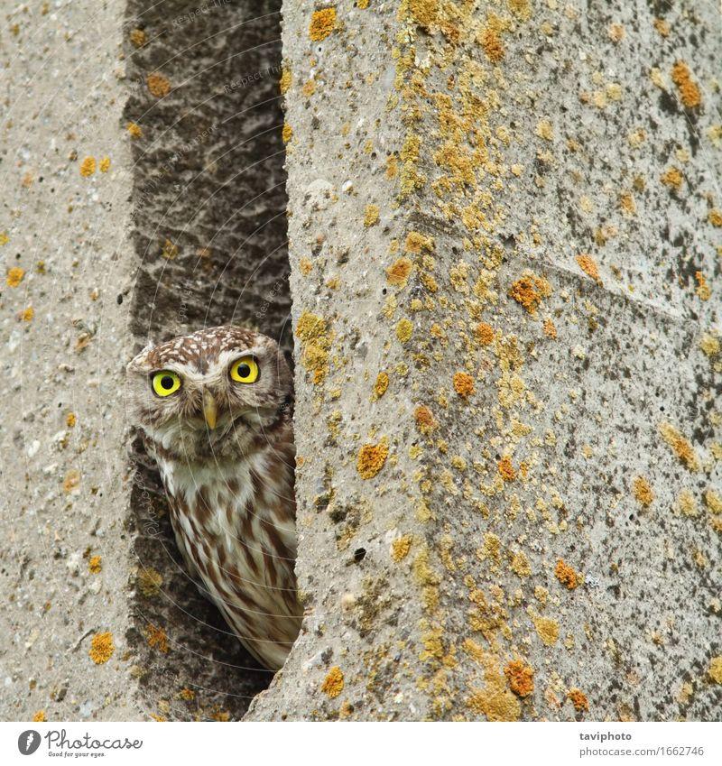 Steinkauz versteckt in Zementsäule Natur schön Tier Gesicht lustig klein braun Vogel wild Feder Aussicht groß niedlich Neugier geheimnisvoll Schnabel