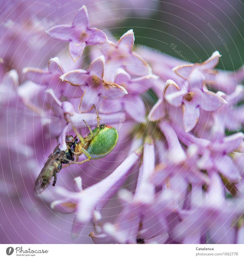 Beute Natur Pflanze Tier Sommer Blüte Fliederbusch Garten Nutztier Spinne Kürbisspinne Fliege 1 Blühend Fressen Wachstum braun grün violett rosa Leidenschaft