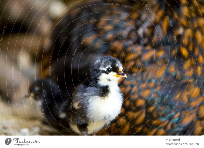 halbes Hähnchen Natur Tier Gefühle Wärme klein Tierjunges braun Vogel Zusammensein Tierpaar paarweise Sicherheit Flügel Tiergruppe weich Warmherzigkeit