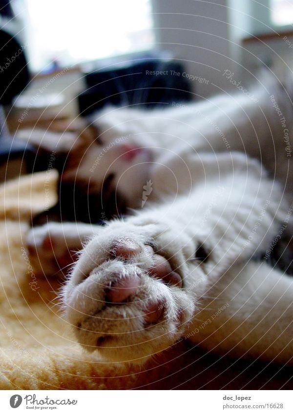 Felidae Katze Pfote Tiefenschärfe Tier schlafen gemütlich Haustier Hauskatze Krallen Verkehrswege Erholung Unschärfe
