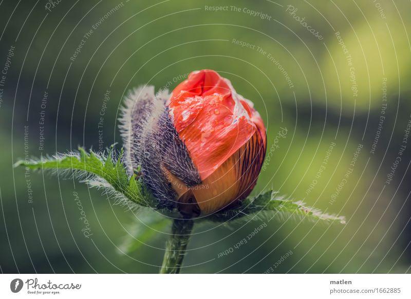 unfolding Pflanze Wassertropfen Frühling Blühend frisch nass grün rot Mohn entfalten aufbrechen Blüte Blattgrün Farbfoto Außenaufnahme Nahaufnahme Menschenleer