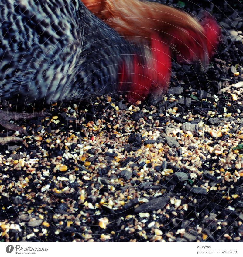 Hühner action Tier exotisch Nutztier Haushuhn picken