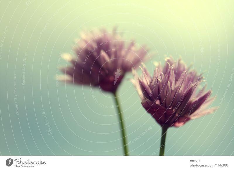Pflümchen blücken Blume Pflanze Sommer Frühling Kräuter & Gewürze Duft Gegenlicht Schnittlauch