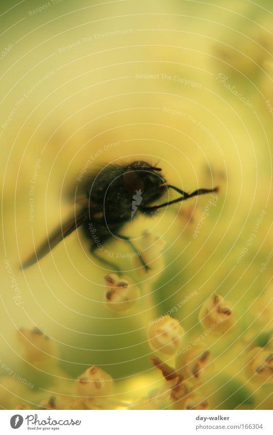 Die Fliege die ne Biene sein wollte Farbfoto mehrfarbig Außenaufnahme Tag Schatten Kontrast Starke Tiefenschärfe Natur Pflanze Frühling Blume Blüte Tier gelb