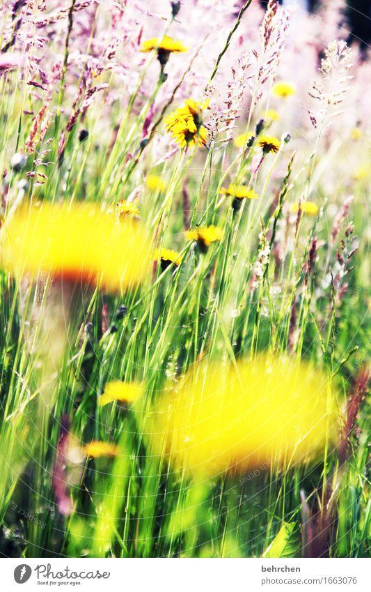 WO BIST DU??? Natur Pflanze Sommer Schönes Wetter Blume Gras Blatt Blüte Wildpflanze Löwenzahn Garten Park Wiese Feld Blühend Duft Wachstum schön Wärme gelb