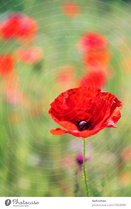 mo(h)ntag, mal wieder... Natur Pflanze Frühling Sommer Blume Gras Blatt Blüte Wildpflanze Mohn Garten Park Wiese Feld Blühend Duft verblüht Wachstum schön rot