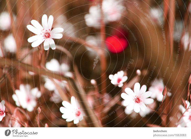 strohblümchen Natur Pflanze Frühling Sommer Schönes Wetter Blume Gras Blatt Blüte sternmiere Garten Park Wiese Feld Blühend Duft verblüht Wachstum schön klein