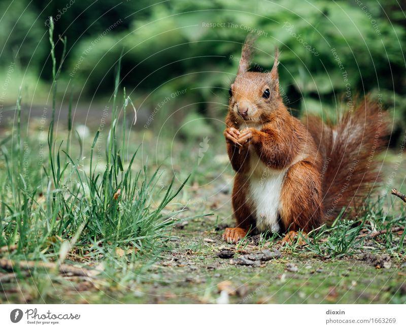 Sitzstreik! Umwelt Natur Pflanze Tier Gras Sträucher Garten Park Wald Wildtier Eichhörnchen 1 sitzen kuschlig klein natürlich niedlich Farbfoto Außenaufnahme