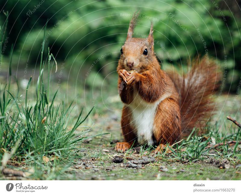 Sitzstreik! Umwelt Natur Pflanze Tier Gras Sträucher Park Wald Wildtier Eichhörnchen Nagetiere 1 Fressen sitzen kuschlig klein natürlich Neugier niedlich