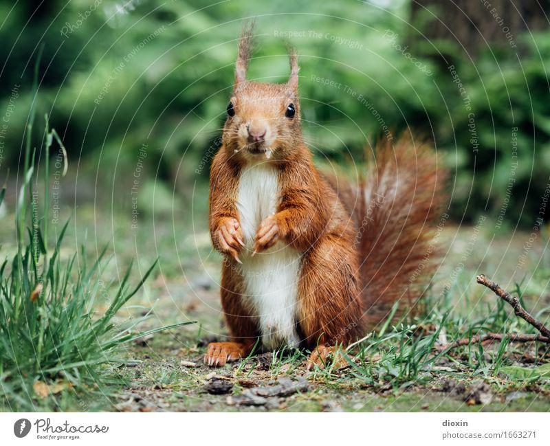 Süß | ist doch mein zweiter Vorname! Umwelt Natur Pflanze Tier Gras Garten Park Wald Wildtier Eichhörnchen Nagetiere 1 kuschlig klein niedlich Farbfoto