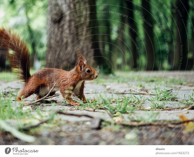 auf´m Sprung Pflanze Baum Park Tier Wildtier Eichhörnchen 1 kuschlig klein Neugier braun Natur Farbfoto Außenaufnahme Menschenleer Textfreiraum oben