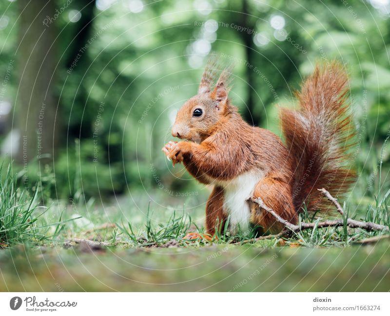 Sitzstreik! Natur Pflanze Baum Tier Wald Umwelt natürlich Gras klein Park Wildtier sitzen niedlich Neugier kuschlig Eichhörnchen