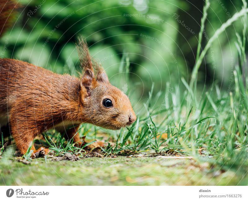 Mariechen Umwelt Natur Tier Gras Garten Park Wald Wildtier Eichhörnchen 1 kuschlig klein Neugier niedlich Geruch Farbfoto Außenaufnahme Menschenleer