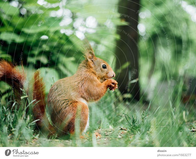 happy birthday, zabalotta! Umwelt Natur Tier Garten Park Wiese Wildtier Eichhörnchen Nagetiere 1 hocken sitzen kuschlig klein natürlich Farbfoto Außenaufnahme