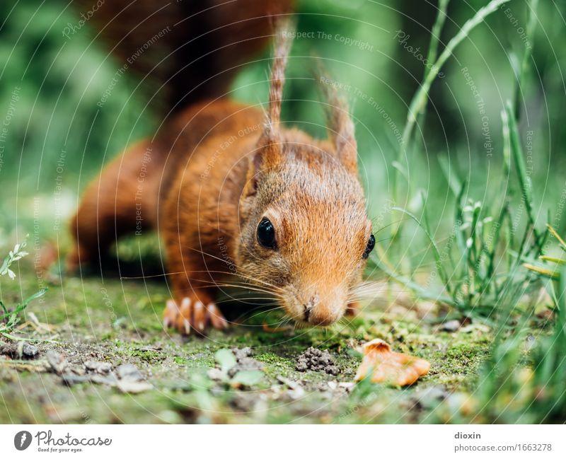 stay hungry! Gras Tier Wildtier Eichhörnchen 1 kuschlig natürlich Neugier niedlich Natur Farbfoto Außenaufnahme Nahaufnahme Menschenleer Textfreiraum rechts