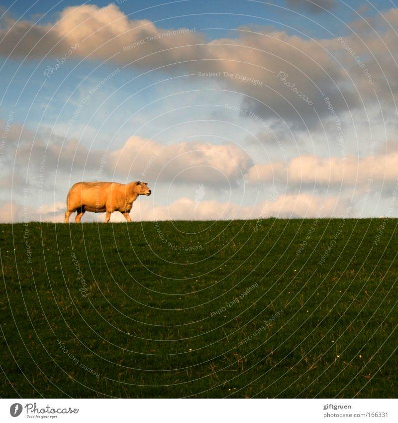 square sheep Himmel Natur grün Ferien & Urlaub & Reisen Sommer Tier Wolken Einsamkeit ruhig Umwelt Landschaft Wiese Frühling Küste gehen Ausflug