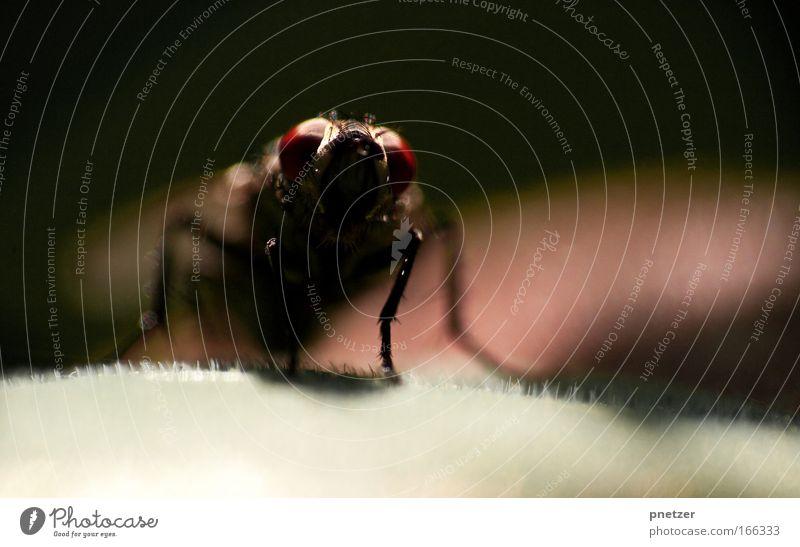Fliege Natur rot Pflanze Sommer Tier schwarz Garten Park sitzen Wildtier Flügel bedrohlich beobachten Tiergesicht Insekt Ekel