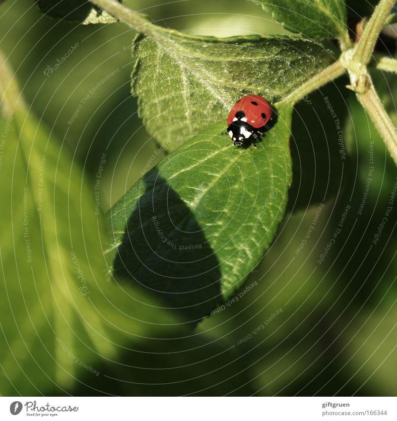 coccinella septempunctata Natur grün Pflanze rot Sommer Blatt Tier Frühling Glück klein Umwelt Marienkäfer Käfer krabbeln Glücksbringer