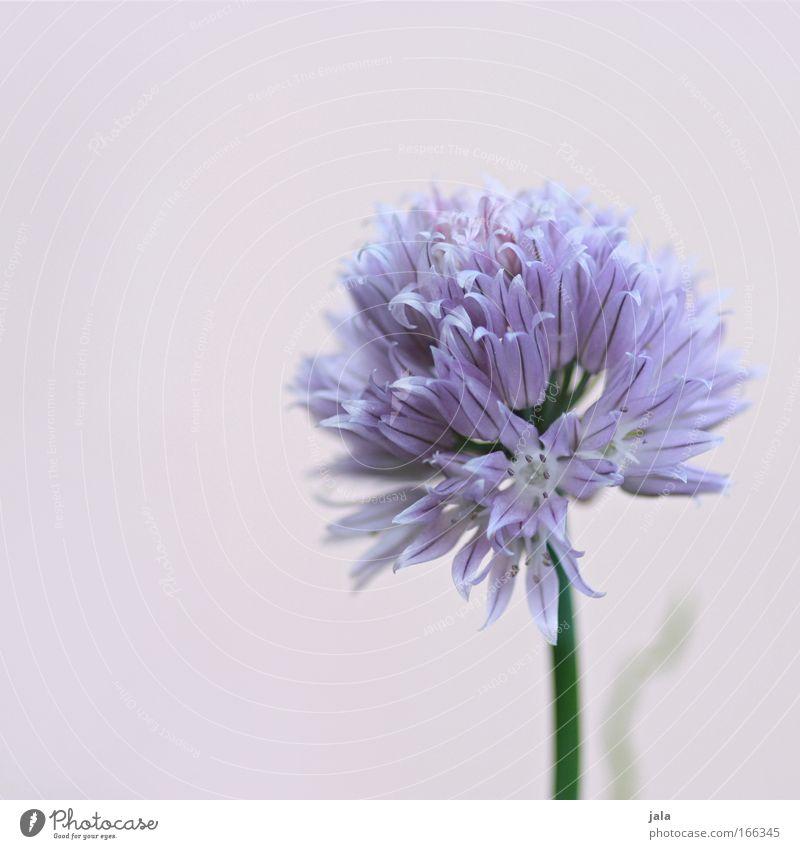 Still lovely chive Farbfoto Außenaufnahme Nahaufnahme Detailaufnahme Tag Schatten Pflanze Blume hell schön Schnittlauch Blüte violett Kräuter & Gewürze