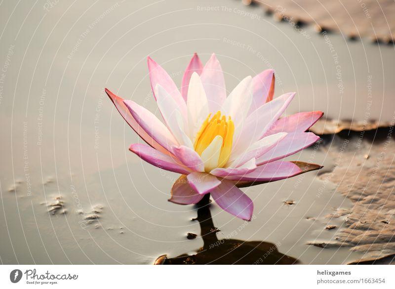 Seerose Stil Design Erholung Schwimmbad Sommer Garten Tapete Umwelt Natur Landschaft Pflanze Blume Blatt Blüte Park Teich frisch natürlich grün rosa