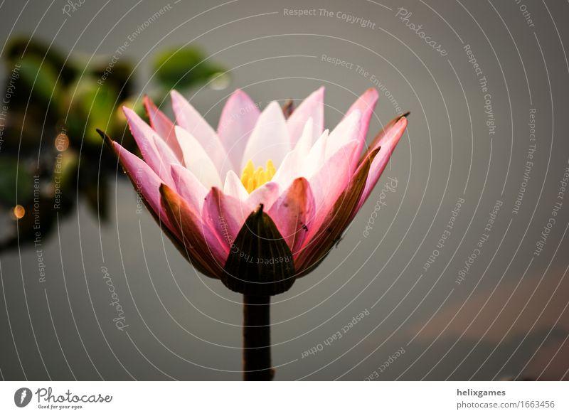 Lotusblume - Seerose Pflanze Blume Blüte Teich rosa Backwaters Kerala Lotos Indien Blütenblatt Südindien Wasser Seerosen Farbfoto Außenaufnahme Menschenleer