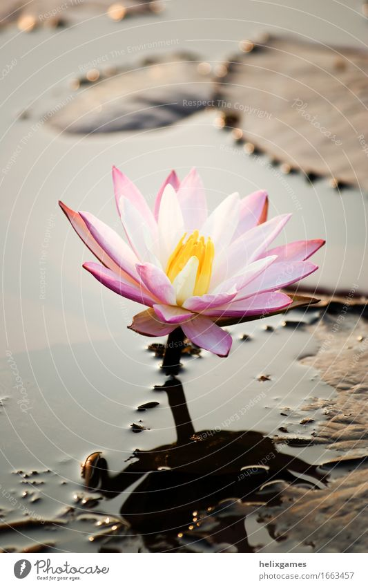 Lotusblume (Wasser Lilly Natur Pflanze Blume Blüte Teich Platz rosa Backwaters Kerala Lotos Indien Blütenblatt Südindien Seerosen Schwache Tiefenschärfe