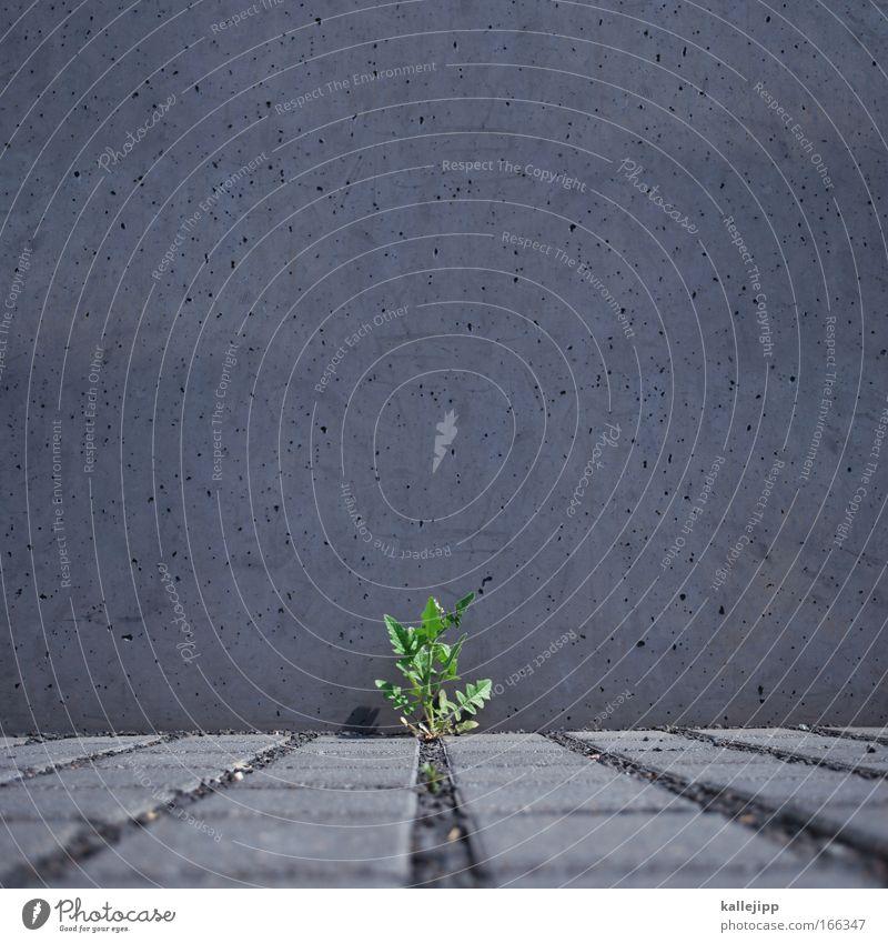 grau-grün-gaga Umwelt Natur Pflanze Tier Gras Grünpflanze Wildpflanze Park Mauer Wand Stein Beton Blühend Wachstum Löwenzahn Lebensraum kämpfen zäh stark Chance