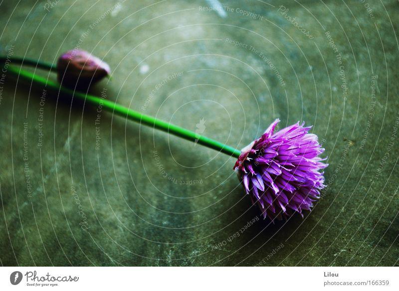 Küchenblumen. II Natur Blume grün Pflanze Ernährung Blüte Stein Lebensmittel violett Kräuter & Gewürze Stengel Halm Blütenknospen Schnittlauch