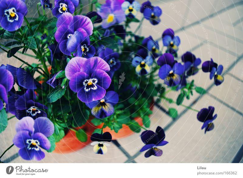 Sonntags bei der Stiefmutter. Farbfoto Außenaufnahme Menschenleer Schwache Tiefenschärfe Natur Pflanze Blume Blüte Duft natürlich blau gelb grau grün violett