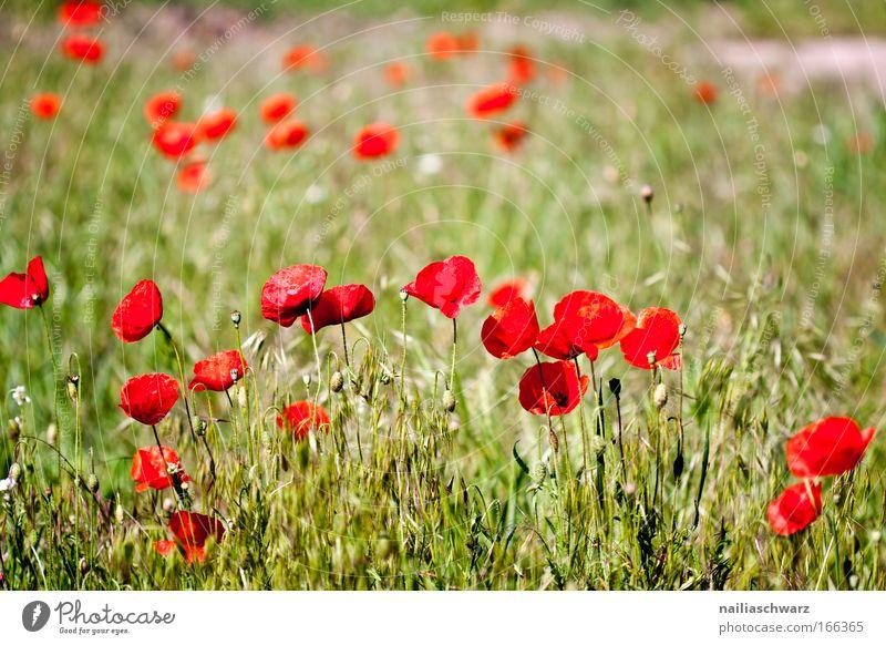 Mohnwiese Farbfoto mehrfarbig Außenaufnahme Nahaufnahme Menschenleer Morgen Schwache Tiefenschärfe Natur Pflanze Frühling Blume Gras Feld Blühend Wachstum