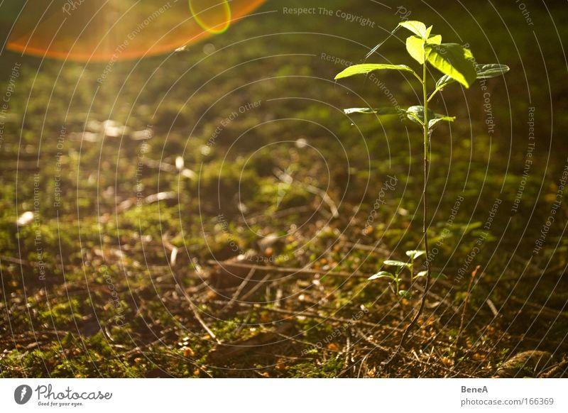 Setzling Natur grün Pflanze Baum Blatt Umwelt Frühling klein braun Erde Energiewirtschaft Wachstum leuchten Idylle dünn Moos