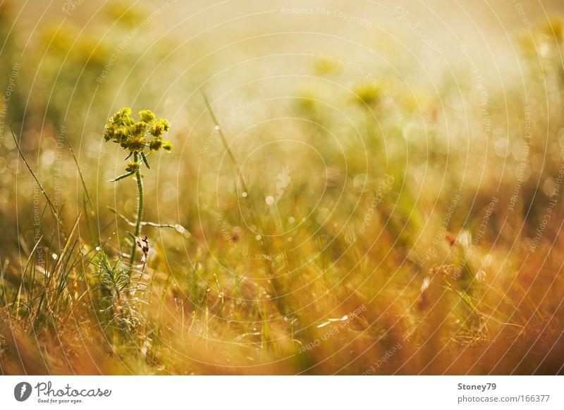Wiese im Morgenlicht Natur Blume Pflanze gelb Blüte Gras Frühling Wärme Stimmung braun gold Warmherzigkeit Idylle Blühend leuchten