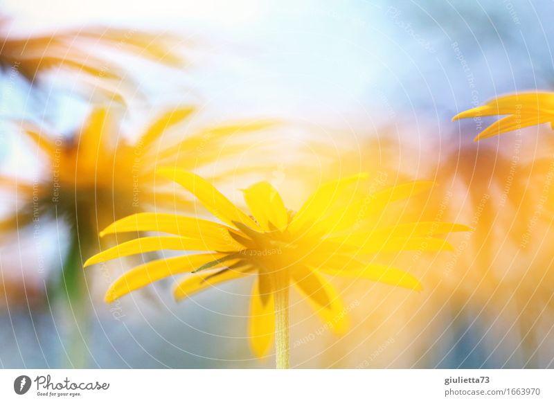 yellow flowers Natur Pflanze Wolkenloser Himmel Sonne Sonnenlicht Sommer Schönes Wetter Blume Garten träumen Glück schön gelb Lebensfreude Optimismus