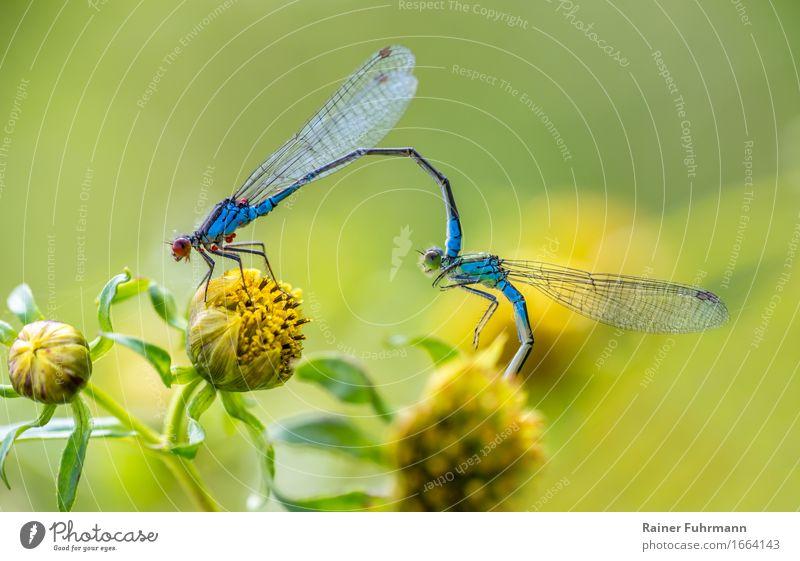 Libellen ( Kleines Granatauge ) bei der Paarung Natur Tier Umwelt Wildtier