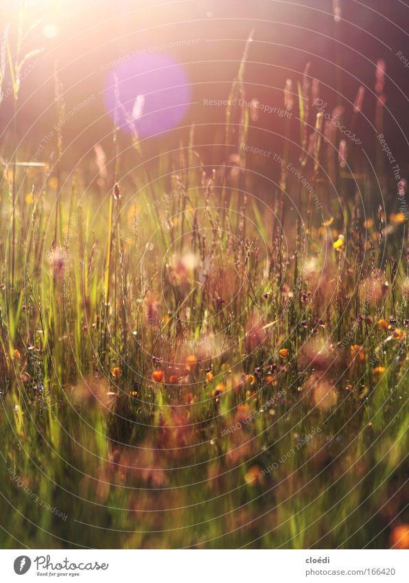 Abendwiese Farbfoto mehrfarbig Außenaufnahme Menschenleer Textfreiraum oben Dämmerung Licht Lichterscheinung Sonnenlicht Sonnenstrahlen Sonnenaufgang