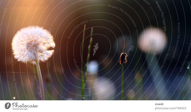 pusteblume Farbfoto Außenaufnahme Abend Dämmerung Lichterscheinung Sonnenlicht Sonnenaufgang Sonnenuntergang Gegenlicht Froschperspektive Natur Pflanze Blume