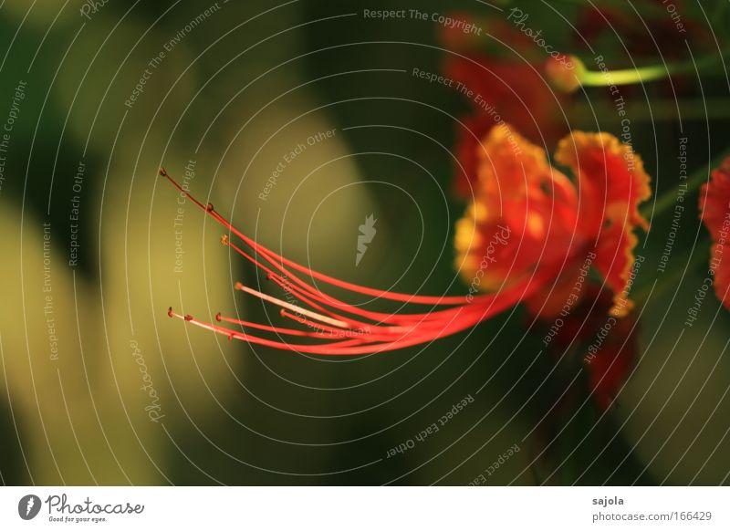 stamina Natur Pflanze Frühling Sommer Blume Wildpflanze exotisch ästhetisch elegant schön Umwelt orange Staubfäden Blüte Blütenblatt Blütenstempel rosa Farbfoto