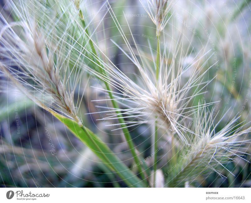 Getreide / Cereals Natur grün Ernährung Lebensmittel