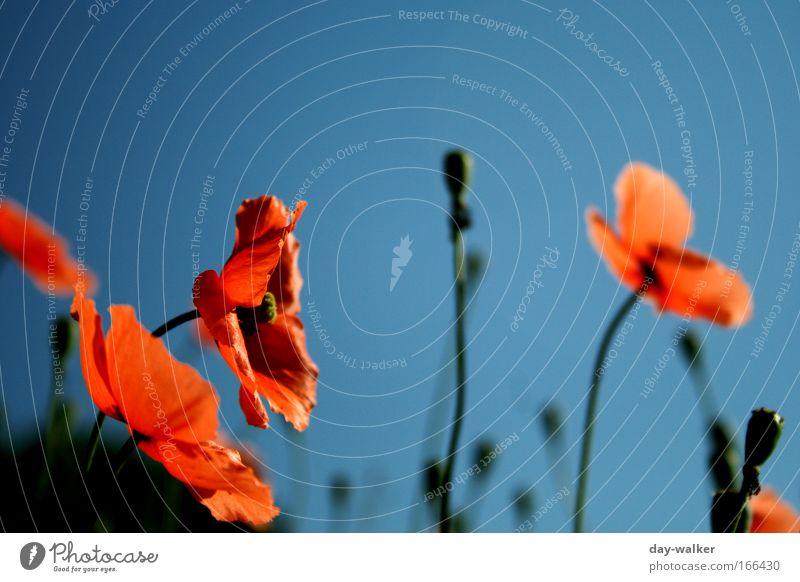 Pure Nature Blume grün blau Pflanze rot Wiese Frühling Mohn Schönes Wetter Wolkenloser Himmel Mohnblüte Wildpflanze Mohnfeld