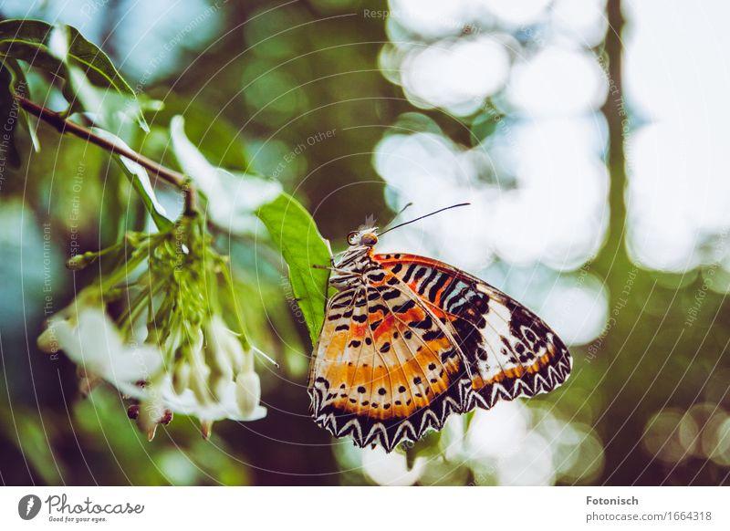Schmetterling Natur Urwald 1 Tier sitzen Fühler Auge Rüssel Flügel orange gepunktet Farbfoto Außenaufnahme Nahaufnahme Textfreiraum oben Licht