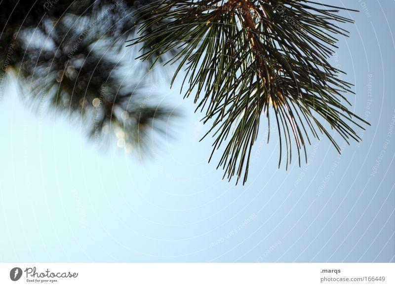 Abhängen Himmel Natur blau Pflanze grün Sommer Wachstum ästhetisch Klima Ast Schönes Wetter Zweig Dürre Nadelbaum