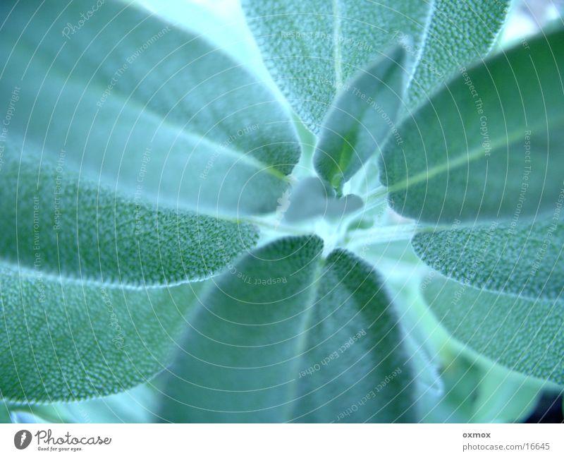 Salbei / Sage grün Pflanze Kräuter & Gewürze Heilpflanzen Nutzpflanze